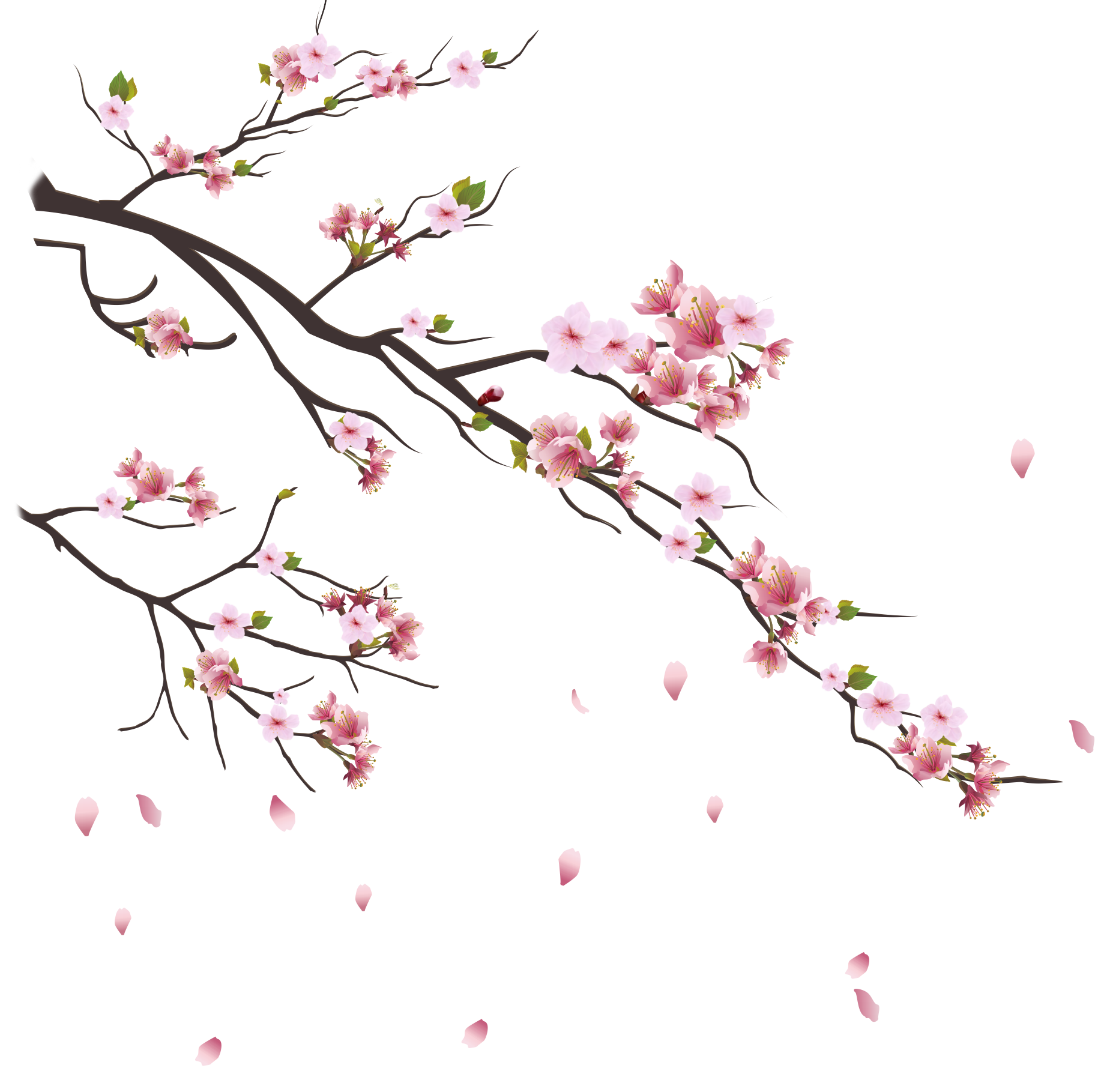 sakura-gauche